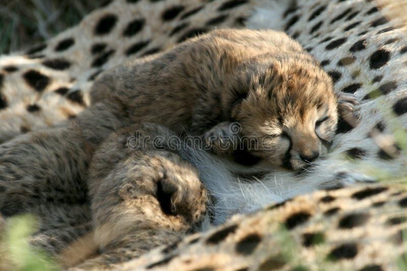 Cheetah cubs stock image