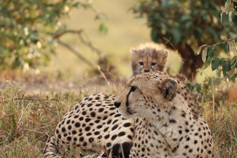 Cheetah mom and her cub in the african savannah. stock photo