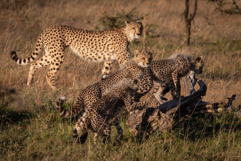Cheetah cubs climb dead log near mother stock photos