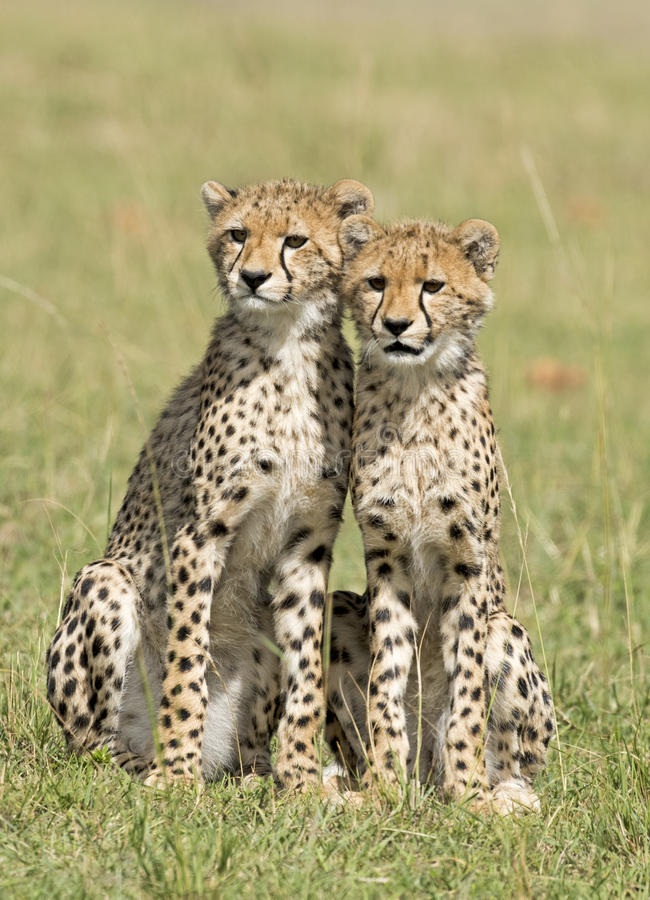 ,Cheetah cubs royalty free stock photo