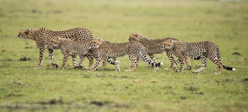Cheetah and cubs. Kenya, Africa Masai Mara , cheetah with cubs royalty free stock images