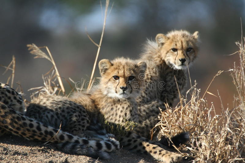 Cheetah Cubs An Mother Royalty Free Stock Photography