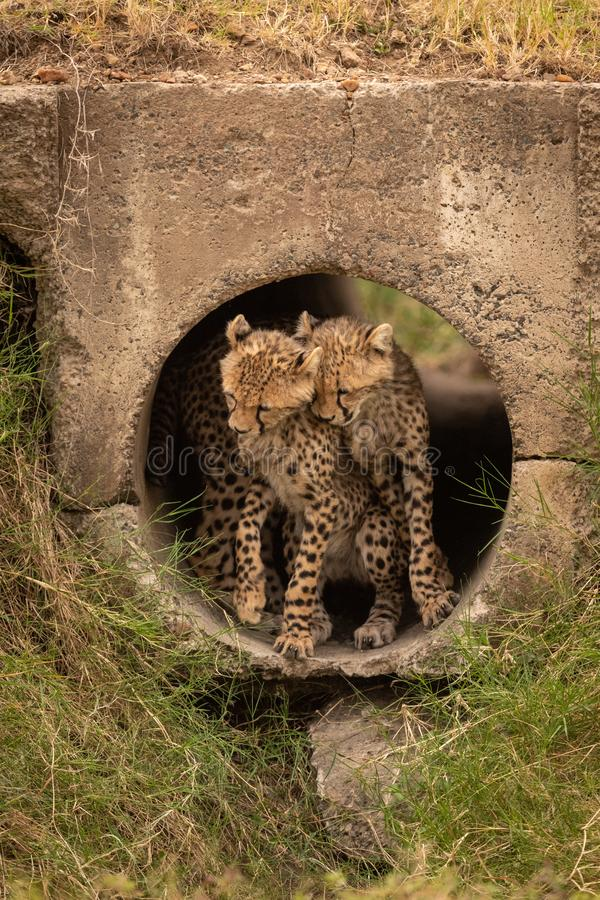 Cheetah cubs nuzzle each other in pipe stock photos