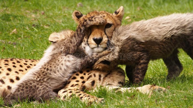 Cheetah cubs with mom royalty free stock photography