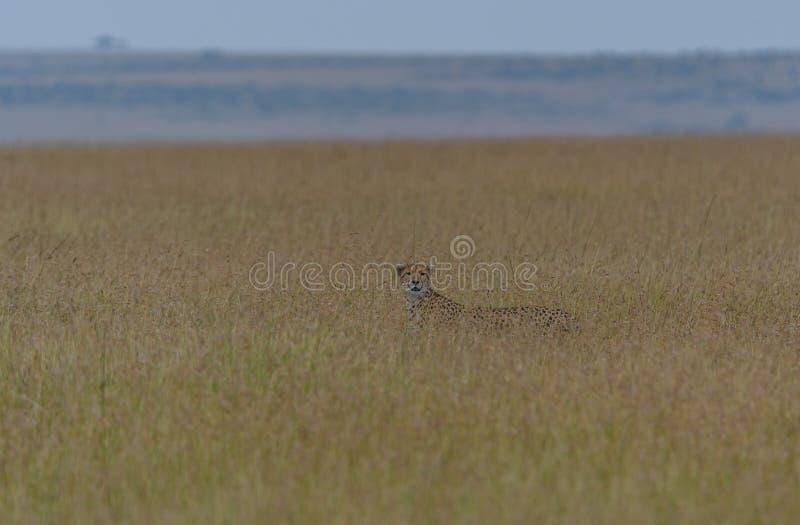 Cheetah at Dawn in Majestic Mara landscape royalty free stock photos