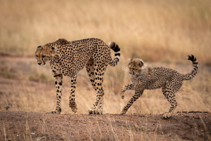 Cheetah on earth bank followed by cub stock images