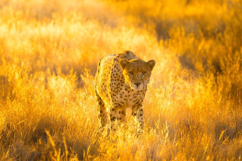 Cheetah in the Etosha National Park, Namibia. `s greatest wildlife reserve stock photo