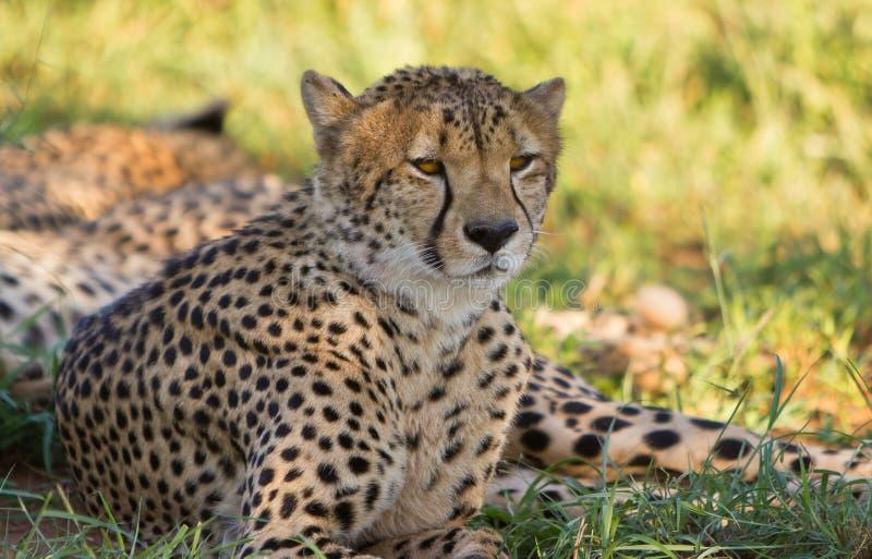 Cheetah Eyes take you in royalty free stock photos
