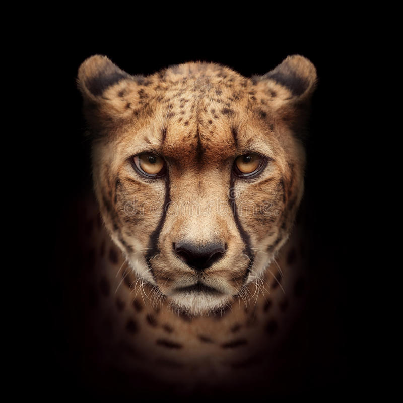 Cheetah face isolated on black background stock images