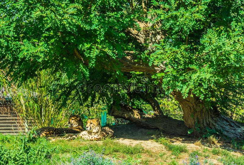 Cheetah family sitting down under a big tree in a a nature landscape stock photo