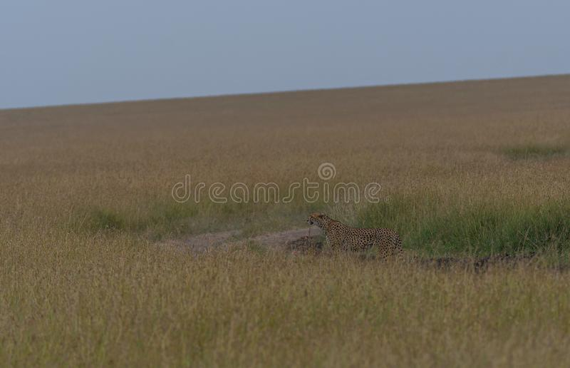 Majestic Cheetah in Savanna Grasslands Habitat of Masai Mara royalty free stock images