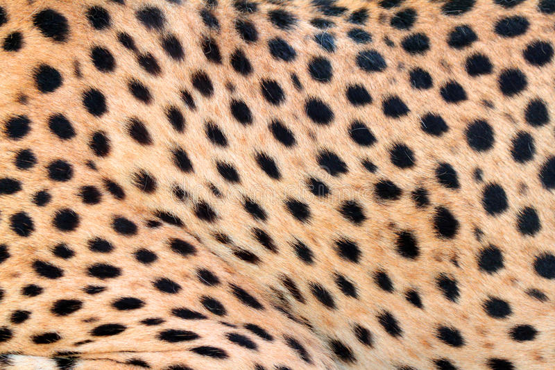 Cheetah fur. Close up detail of spotted cheetah fur royalty free stock photography