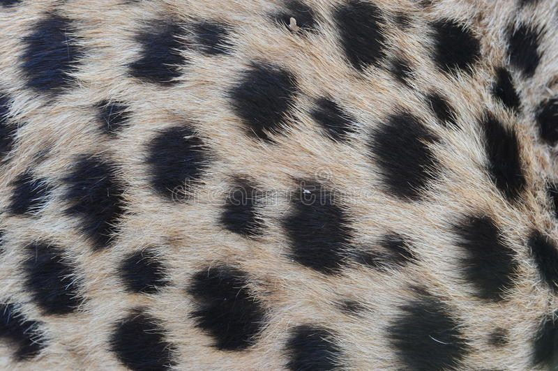 Cheetah fur pattern. Closeup fur pattern of the African Cheetah stock photography