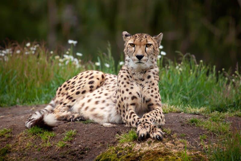 cheetah stockfotografie