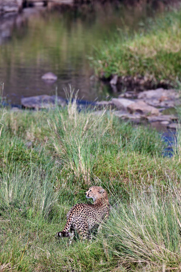 Download Cheetah Goes To The River The And Looks Back Stock Image - Image of carnivore, river: 15611187