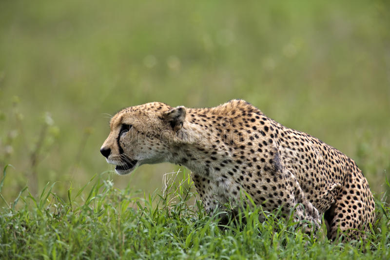 Cheetah is going to hunt royalty free stock image