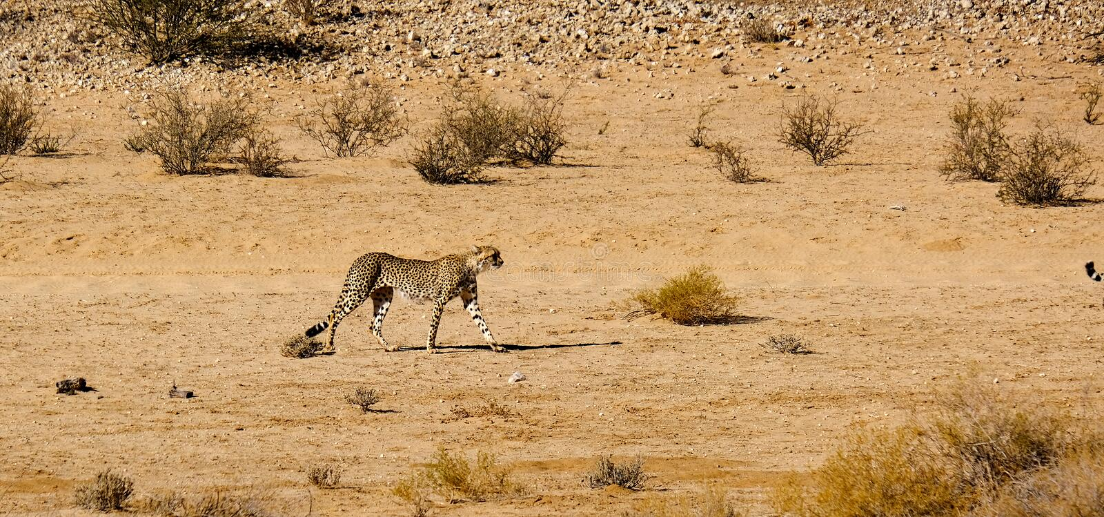 A cheetah graciously moving in the arid landscape in the Kalahari Desert in the Kgalagadi Transfrontier Park between Namibia and S royalty free stock photography