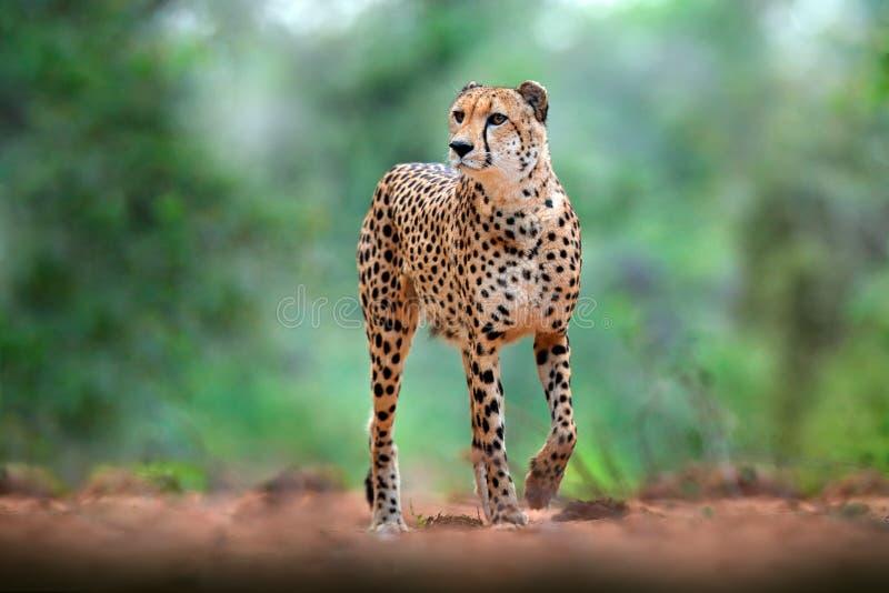 Cheetah on gravel road, in forest. Spotted wild cat in nature habitat. Cheetah in green vegetation, Okawango, Botswana in Africa. Wildlife nature stock image
