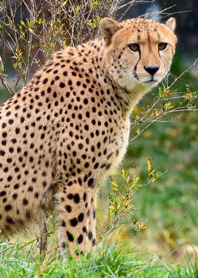 Cheetah in Green Grass Lawn stock images