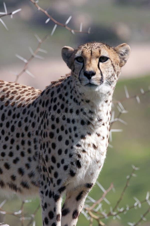 Download Cheetah On Guard Royalty Free Stock Photo - Image: 12999385