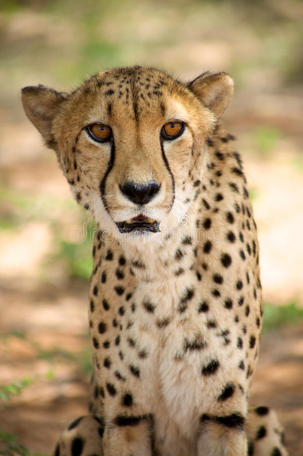 Download Cheetah in Harnas stock photo. Image of spotted, hunt - 32875100