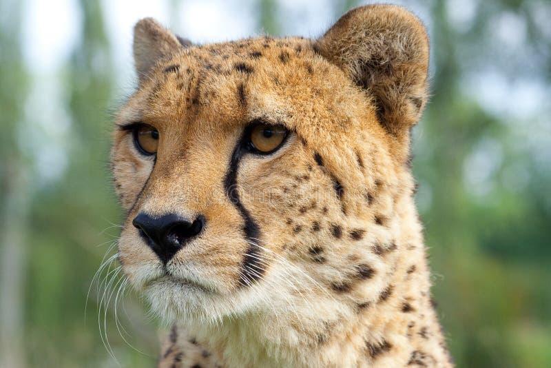 cheetah head portrait fotografering för bildbyråer
