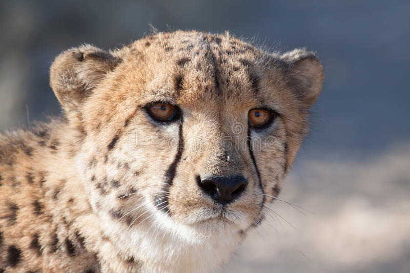 Cheetah head. Portrait of an african cheetah head in bright sunlight royalty free stock photography