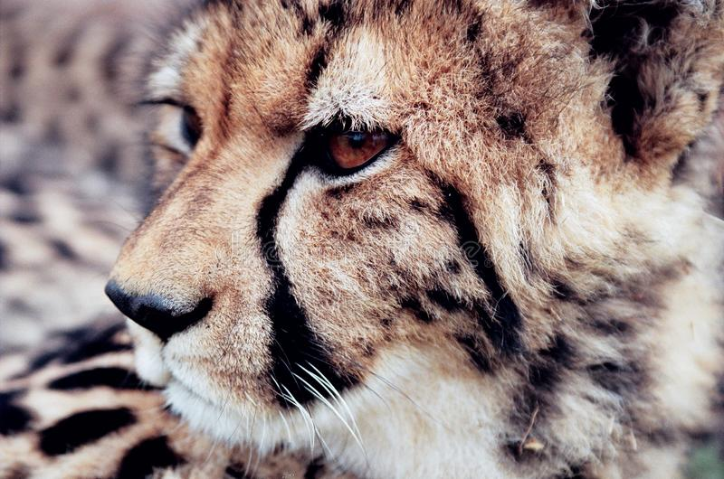 Cheetah head tear mark close up royalty free stock image