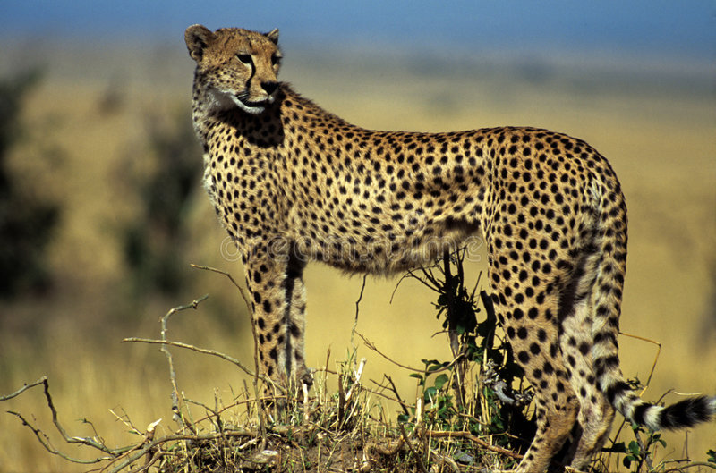 Cheetah on hill. Cheetah standing on hill