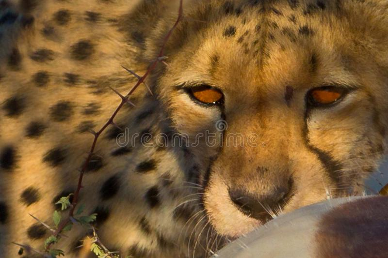 Cheetah is hunting royalty free stock photo