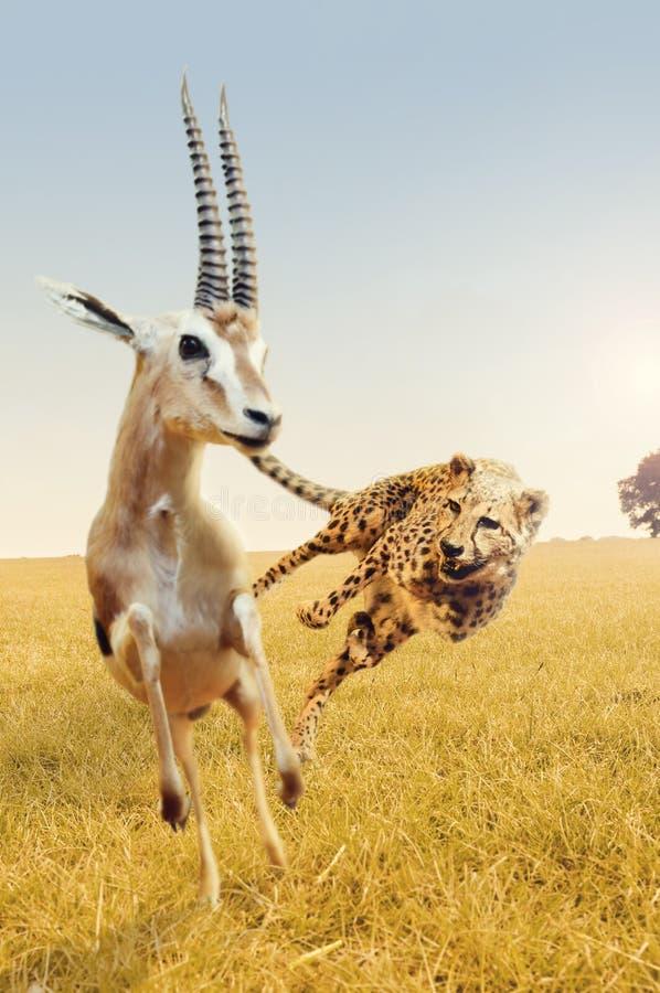 Cheetah hunting gazelle on Africa's savanna stock image