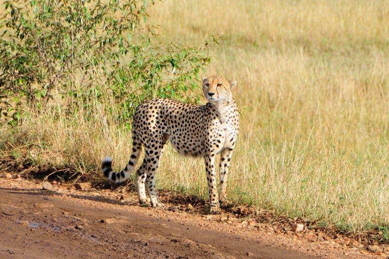 Cheetah i masaien Mara royaltyfria foton
