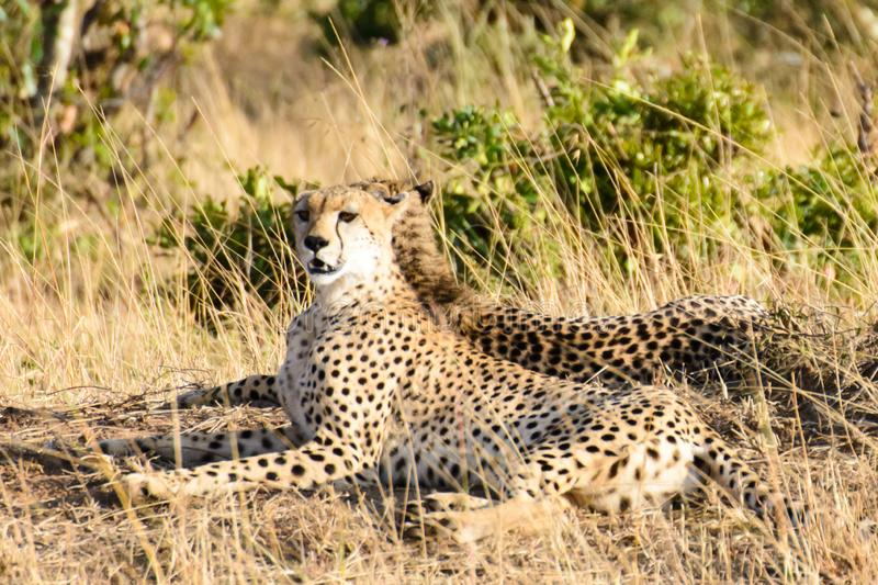 A cheetah with its head raised royalty free stock image