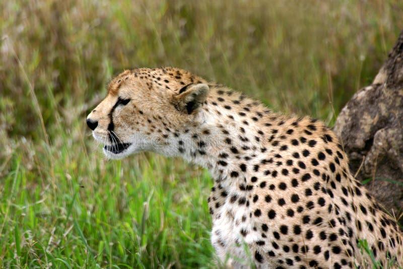 Cheetah Keeping Watch stock photo