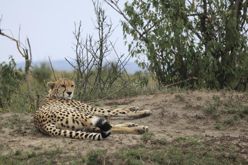 Cheetah In Kenya Stock Image