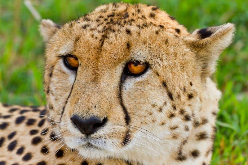 Cheetah in Kenya stock photography