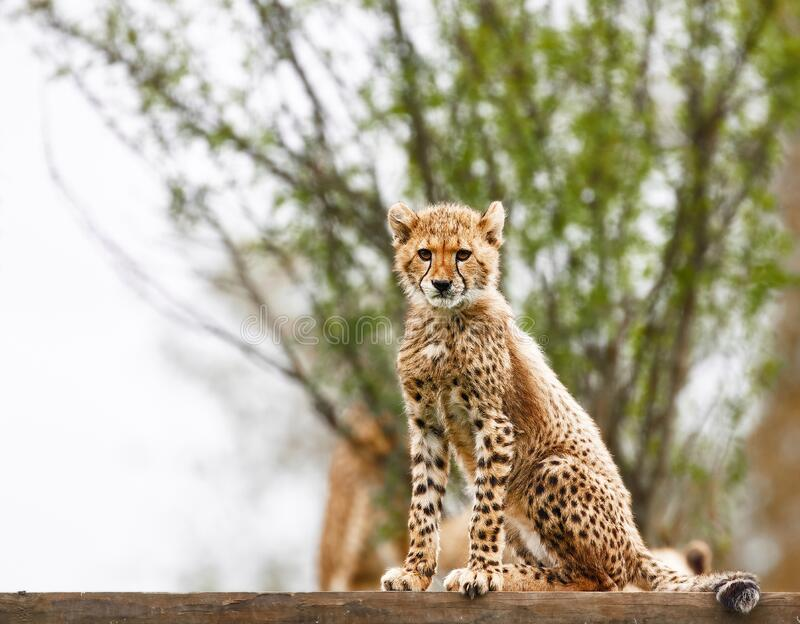 Cheetah-Kugel lizenzfreies stockfoto