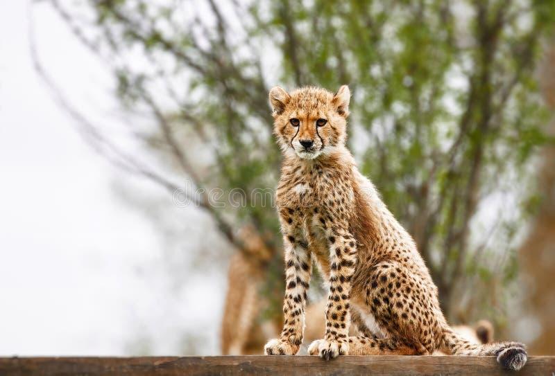 Cheetah-Kugel stockbild