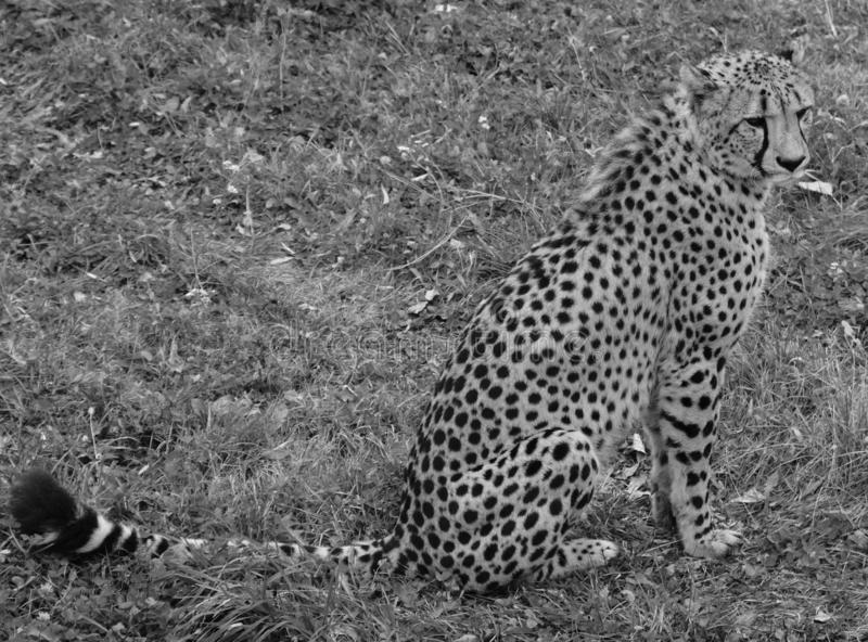 The cheetah is a large-sized feline inhabiting most of Africa stock images