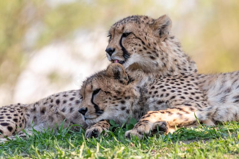 Cheetah licks a cub lying on green grass stock images