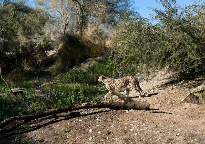Cheetah at The Living Desert Zoo and Gardens royalty free stock images
