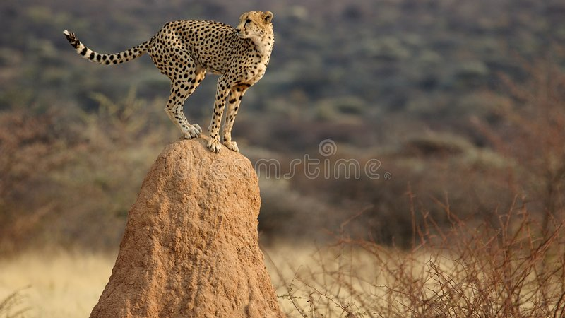 Cheetah look-out royalty free stock image