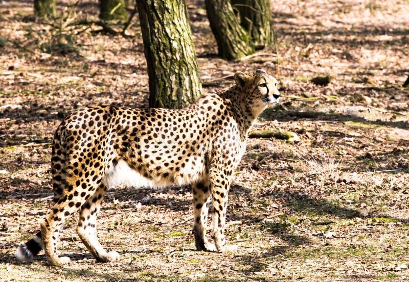 Cheetah looking aroung royalty free stock photography