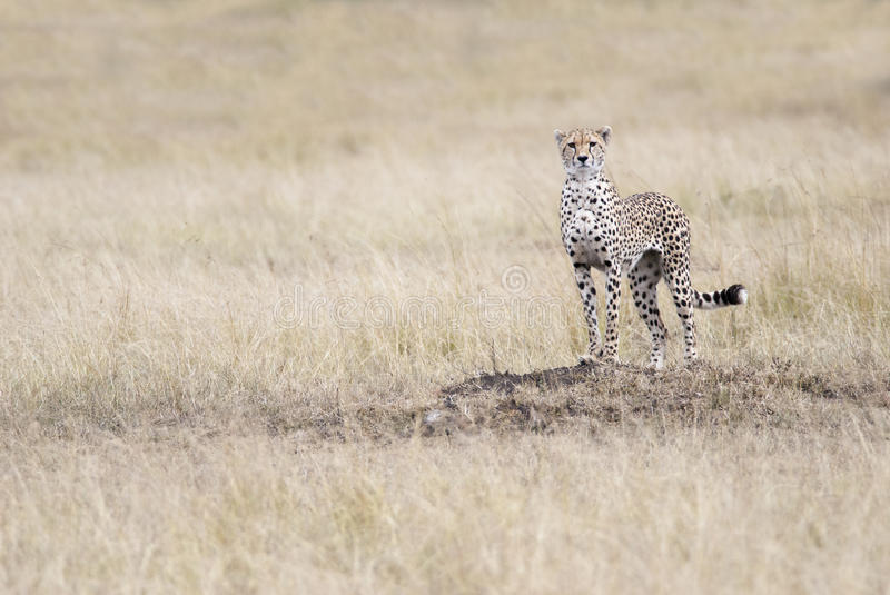 Cheetah looking out for the victim in the African savannah stock images