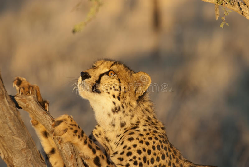 Download Cheetah looking in tree stock image. Image of mammal - 21434299