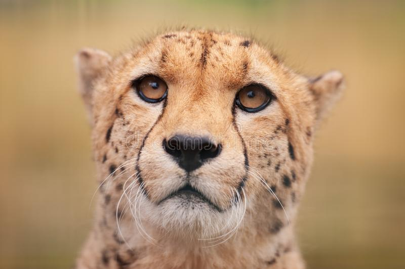 Cheetah sitting in grass facing the viewer stock photo