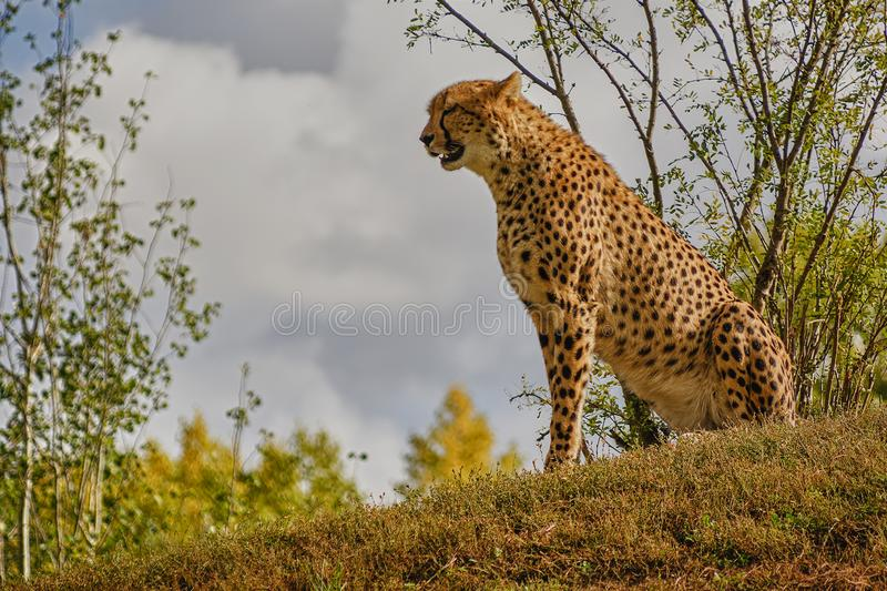 Cheetah on a lookout hill royalty free stock images