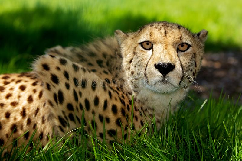 Download Cheetah lying in grass stock photo. Image of feline, observe - 14502814