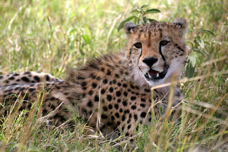 Download Cheetah lying in the grass stock image. Image of animal - 4230711