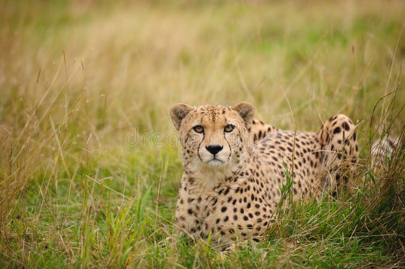 Cheetah lying in grass royalty free stock photo